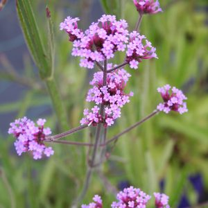 verbena at beechmount garden centre