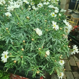 chrysanthemum at beechmount garden centre