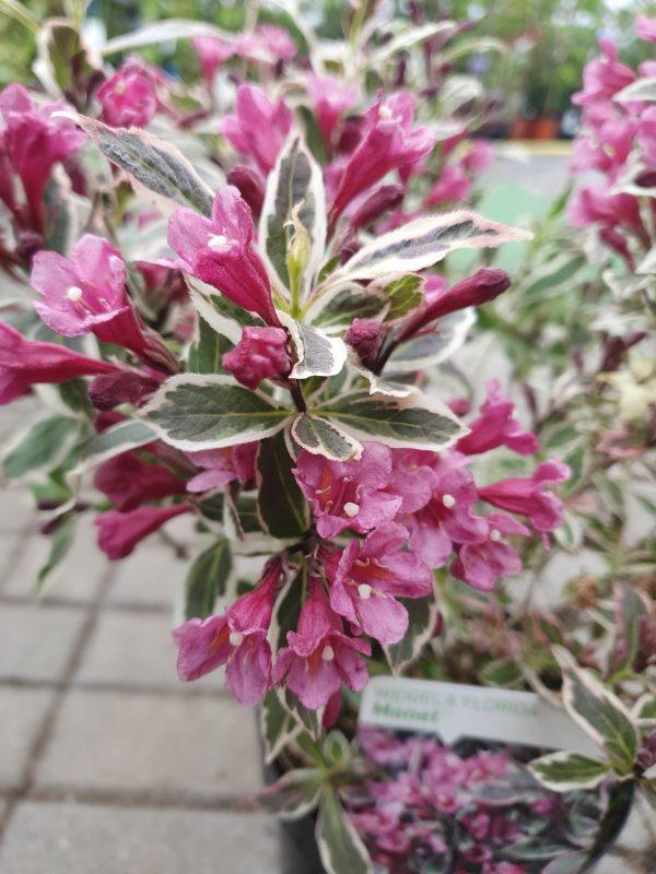 Weigela at beechmount garden centre