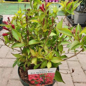 Weigela at beechmount garden centre