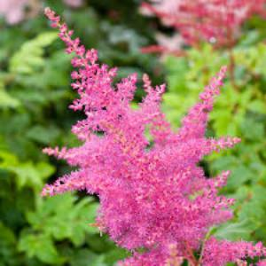 Astilbe Younique Lilac at beechmount garden centre