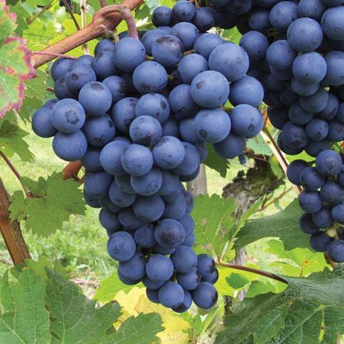 grapes at beechmount garden centre