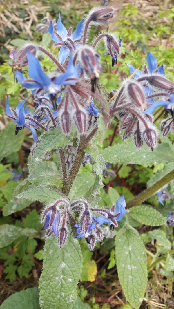 borage at beechmount garden centre