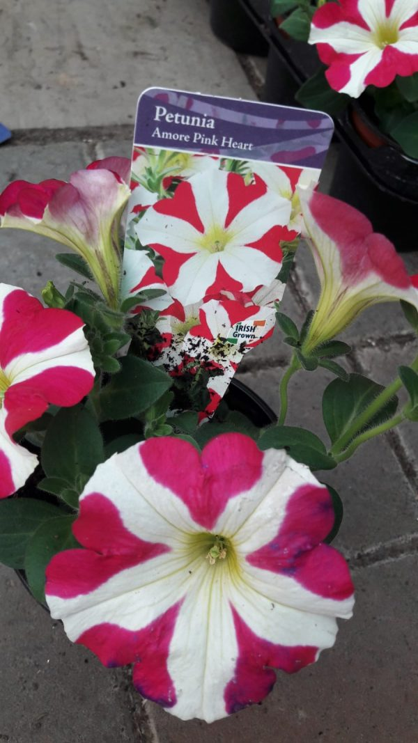 petunia at beechmount garden centre