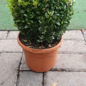 buxus at beechmount garden centre