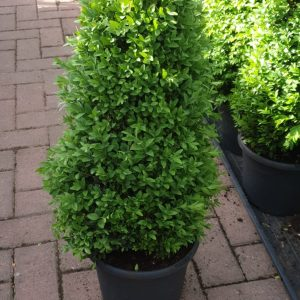 buxus at beechmount garden centre