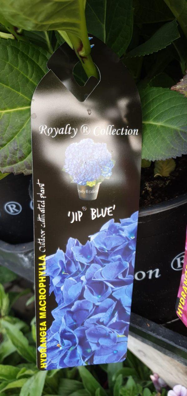 hydrangea at beechmount garden centre