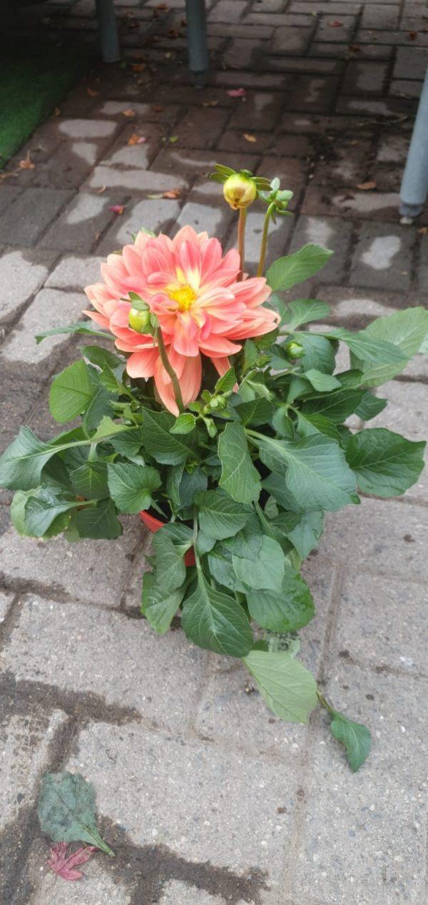 dahlia at beechmount garden centre