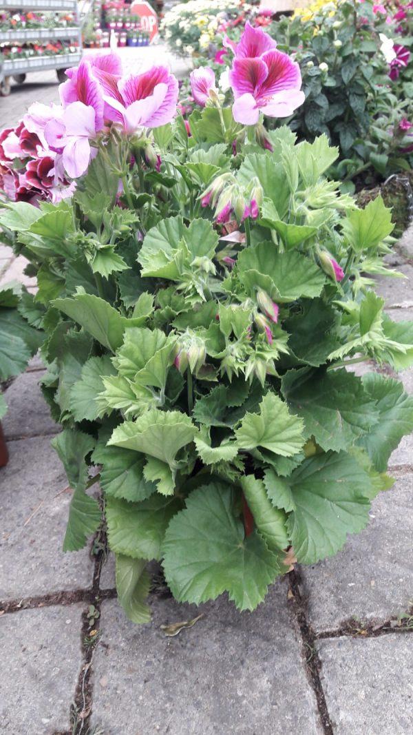 pelargonium at beechmount garden centre