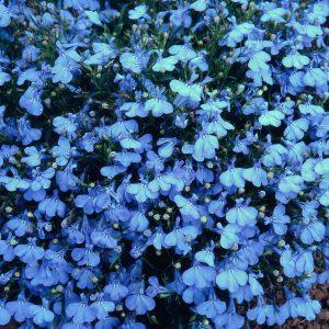 lobelia at beechmount garden centre