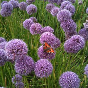 allium at beechmount garden centre