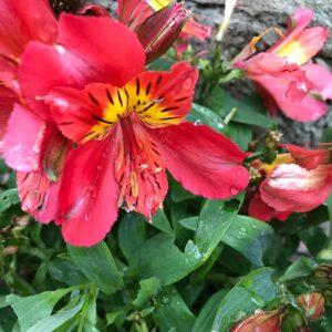 alstroemeria little miss tara at beechmount garden centre