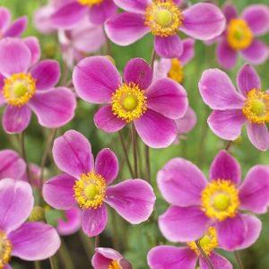 anemone splendens at beechmount garden centre