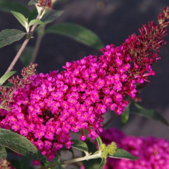 buddleia at beechmount garden centre