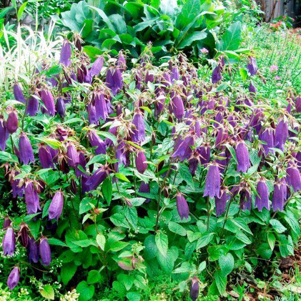 campanula indigo blue at beechmount garden centre