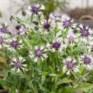 centaurea at beechmount garden centre