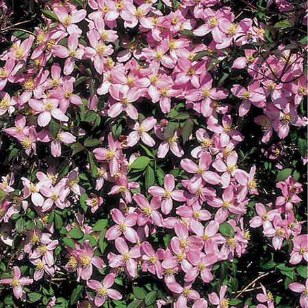 clematis fragrant sunshine at beechmount garden centre