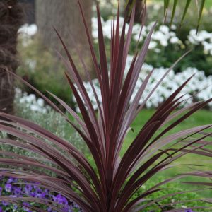 cordyline at beechmount garden centre