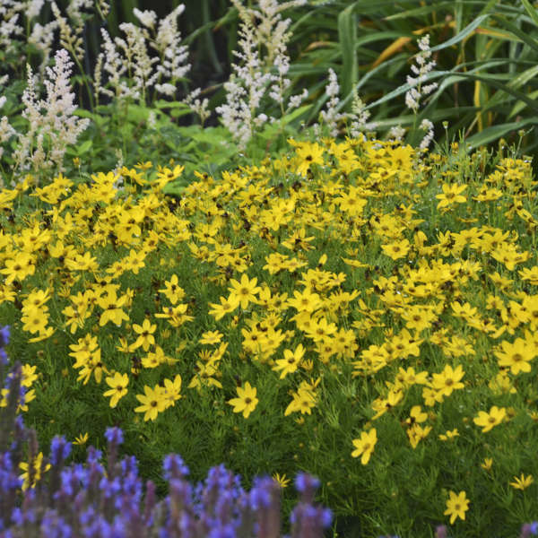 coreopsis at beechmount garden centre