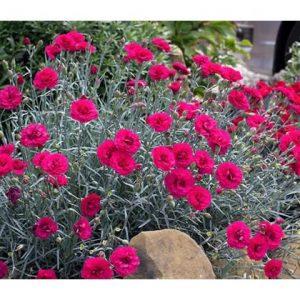 dianthus at beechmount garden centre