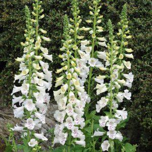 digitalis dalmation white at beechmount garden centre