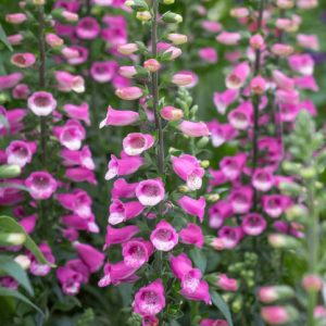 Digitalis Lucas at beechmount garden centre