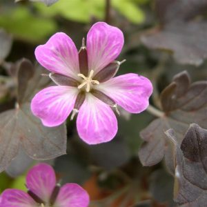 geranium dusky rose at beechmount garden centre