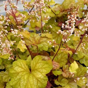 heuchera at beechmount garden centre