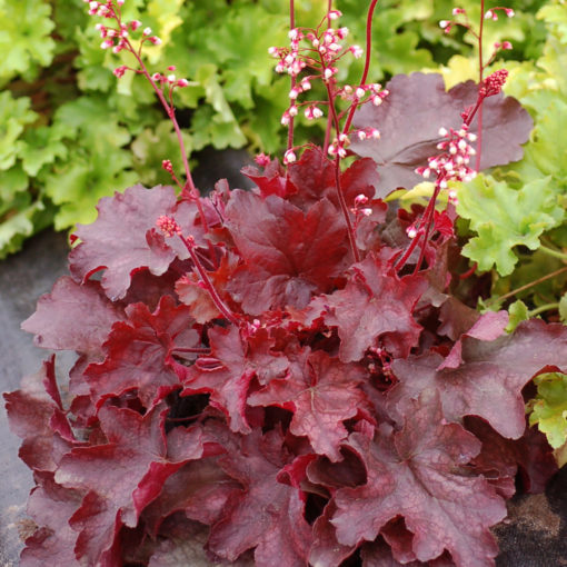 heuchera fire chief at beechmount garden