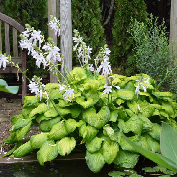hosta guacamole at beechmount garden centre
