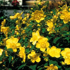 hypericum at beechmount garden centre