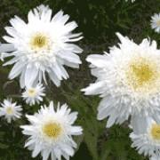 leucanthemum supreme at beechmount garden centre