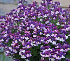 nemesia berry delight at beechmount garden centre