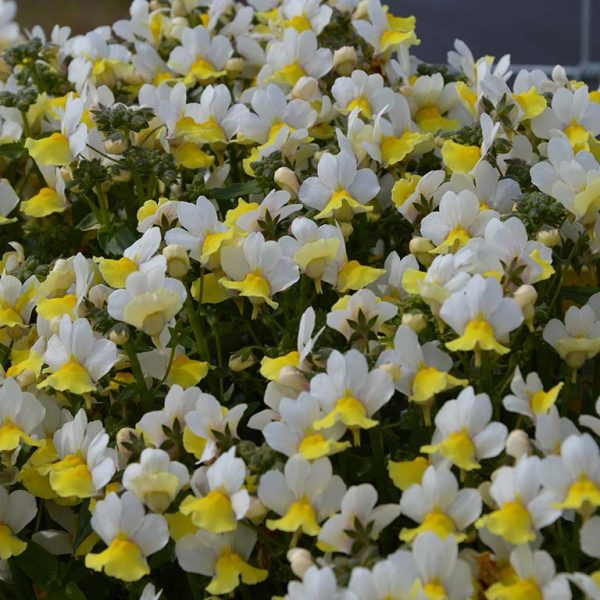 nemesia at beechmount garden centre