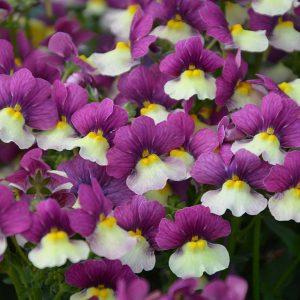 nemesia at beechmount garden centre