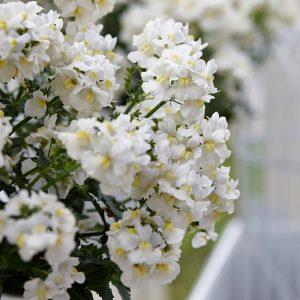 nemesia white perfume at beechmount garden centre