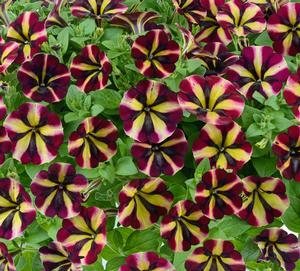 petunia amore fiesta in beechmount garden centre