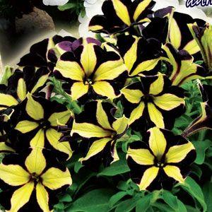 petunia at beechmount garden centre