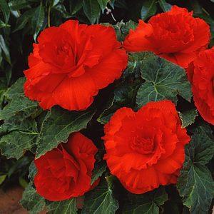 red begonia at beechmount garden centre