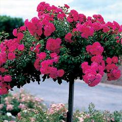 flower carpet roses at beechmount garden centre