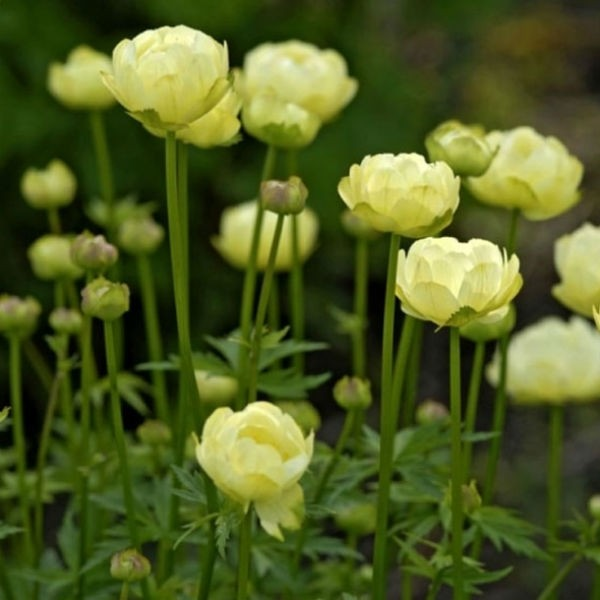 trollius at beechmount garden centre