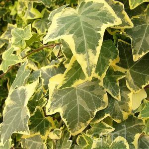 hedera at beechmount garden centre