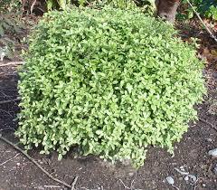 pittosporum at beechmount garden centre