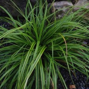 carex at beechmount garden centre