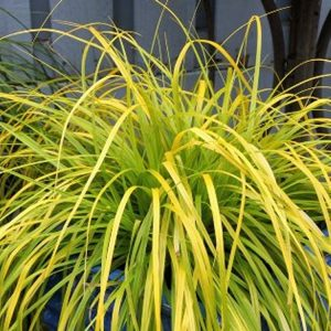 carex evirillo at beechmount garden centre