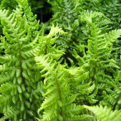 dryopteris at beechmount garden centre