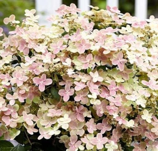 hydrangea polestar at beechmount garden centre