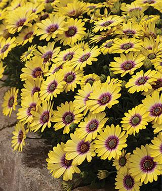 osteospermum at beechmount garden centre