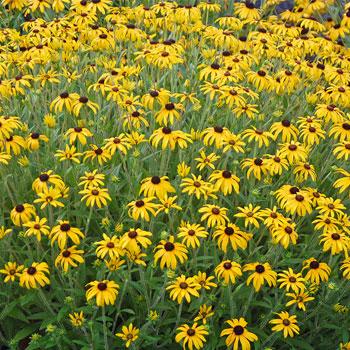 rudbeckia at beechmount garden centre