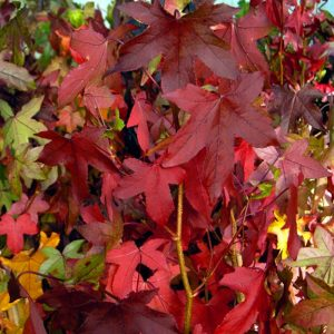 liquidamber at beechmount garden centre